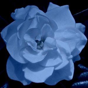 Blue Gardenia Quartet