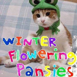 Winter Flowering Pansies