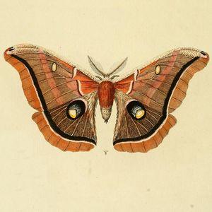 Vesper Moth