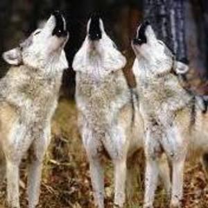 Grey Wolf Jam