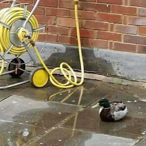 The ASBO Ducks