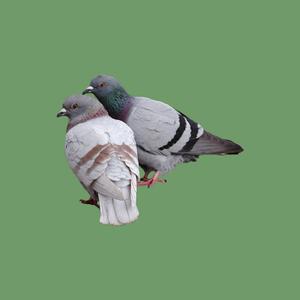 Six Foot Pigeons